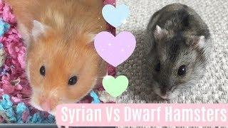 Syrians Vs Dwarfs   Differences