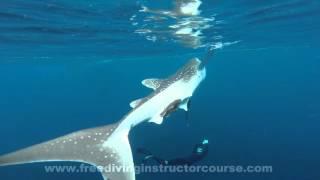 ジンベエザメと泳ぐ