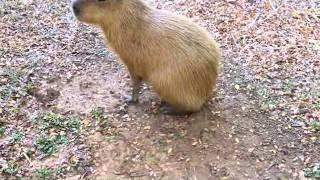 Capybara Popcorning