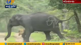 Video Of Elephant Running After Jackals at Mudumalai Fores..