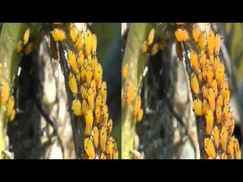 3D Milkweed Aphids