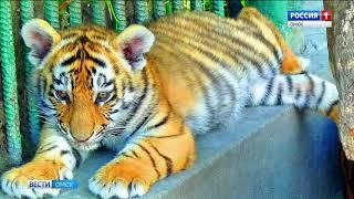 Омичам предлагают выбрать имя для новорожденного тигренка