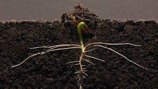 Bean Time-Lapse - 25 days | Soil cross section