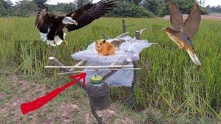 """Đây Là Cái Bẫy Chim """"Đỉnh"""" Nhất Mọi Thời Đại .Bẫy Chim Khách .Best Bird Trap–Có Vào Không Có Ra."""