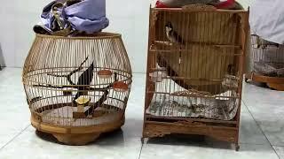 Chào mào bán 20/11/2018 lồng bên trái chim mồi ae cần a lo 01649911909 hoặc kết ban zalo01649911909