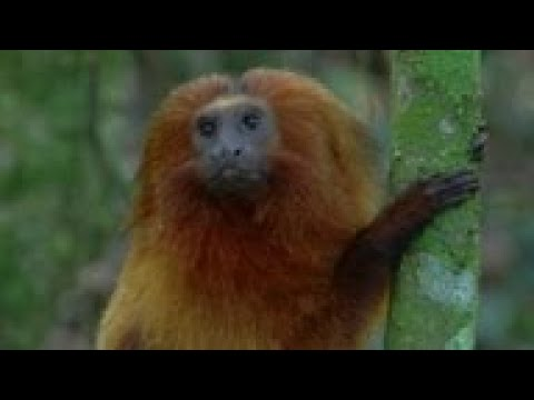 BRAZIL'S NEW WILDLIFE CORRIDOR HELPS GOLDEN LION MONKEYS