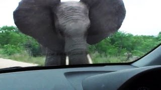 Elephant Attacks Car - 27 October 2012 - Latest Sightings