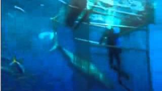 ホオジロザメ35