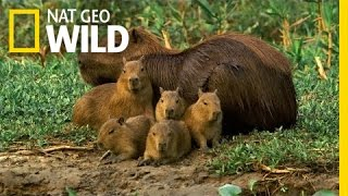 A Capybara Family's Day at Play | Deadly Game