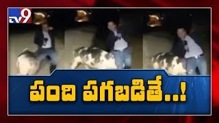 Pig chases reporter on live TV..