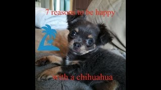 7 reasons to be happy with a chihuahua