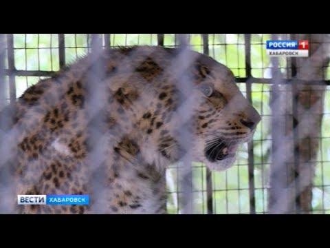 Леопарды в кафе