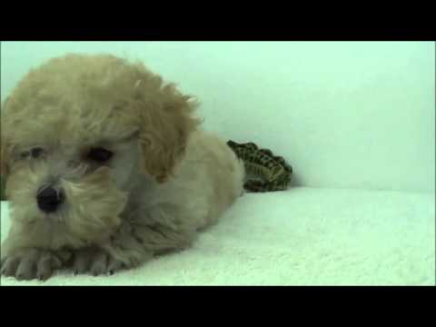 Oceanside Puppy Mini Poodle
