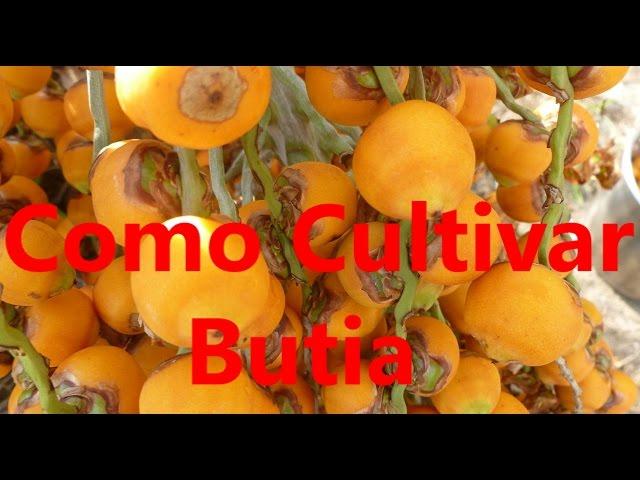 Como Cultivar Bútia