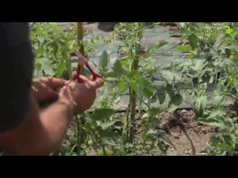 Coltivare pomodori cure colturali e rimedi contro gli for Scacchiatura pomodori