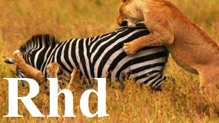 Lions pride, Predator Progress, (part 4)  Nature 2018 HD Documentary.