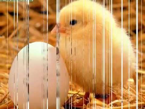 el pollito pio (animales de verdad)