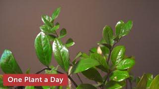 2 of 365. Zamioculcas zamiifolia (ZZ Plant) Houseplant Care