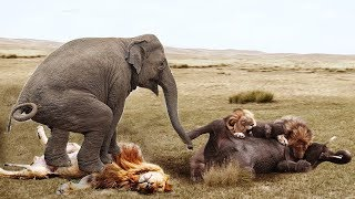 Best Fights Of Lion - Lion vs Bear, Elephant, Buffalo REAL FIGHT !!