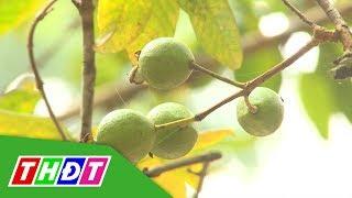 Sự thật về cây ổi biết cười ở Thanh Hóa | THDT