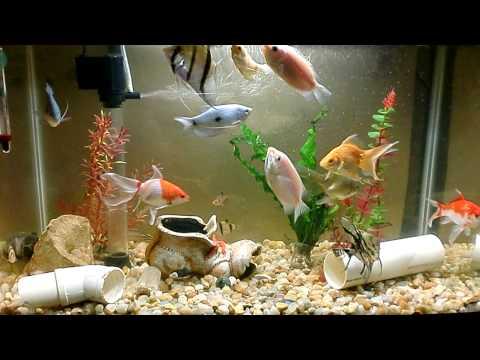 Peixes na caixa de agua 1000 litros for Como criar mojarra tilapia en casa