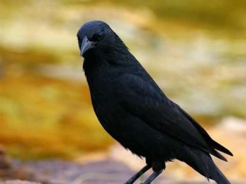 Baixar Aves do Brasil - Ouça o canto do Pássaro-Preto ou Graúna.