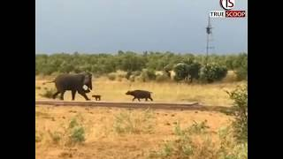 Giant elephant tries to escape from baby buffalo attack, v..