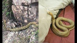Mang con rắn đang hấp hối từ rừng về, nửa đêm bò lên đầu hốt hoảng bật đèn mới biết con vật cứu mạng