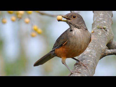 Baixar Sabiá cantando - Sabiá laranjeira em seu habitat - Canto 83 - Canto do Sabiá - HD - 1080p