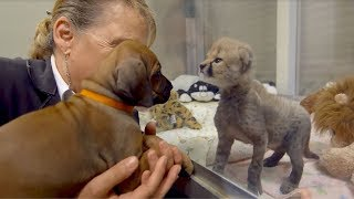 This Dog And Cheetah Met As Babies  Two Years Later, They Still Haven't Left Each Other's Side!