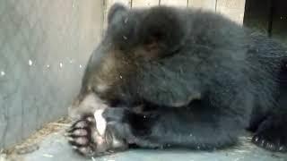 Медвежонок три дня гостил на даче у приморской семьи