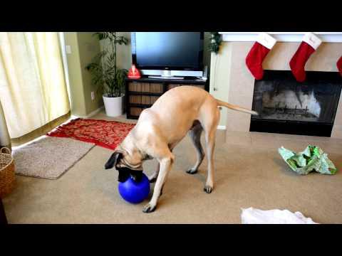 Gibson the English Mastiff Opens His Christmas Present!