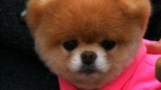 Boo's Big Vacation: World's Cutest Dog Takes San Francisco