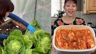 Thu Hoạch Cải Thảo Vào Làm Kim Chi Tươi Ngon 🇨🇦300》 Making Kimchi from Fresh Picked Napa Cabbages