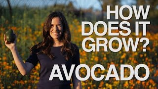 AVOCADO | How Does it Grow?