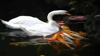 ♥ Cuộc Sống Phú Yên: Quay lén chim thiên nga bơi lội dưới hồ cá ngoài trời