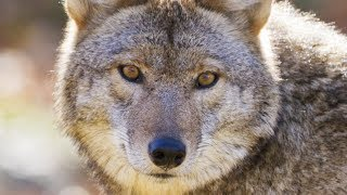 This Is What You Should Do If You Encounter A Coyote