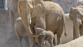 Baby Elephant Meets His Herd
