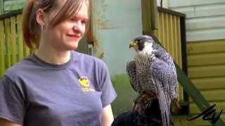 The Raptors -  Bald Eagle, Golden Eagle, Peregrine Falcon -  Bird's Of Prey  -  YouTube