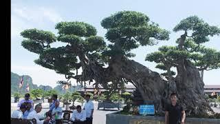 Thực hư cây sanh lớn nhất Việt Nam giá 1 TRIỆU USD trưng bày tại Tam Chúc