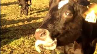 Cow Can't Control Its Tongue