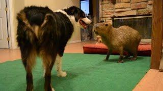 Capybara Dance Party
