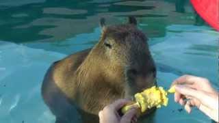 The Cleverest most Captivating Capybara   非常に巧妙な愛らしいカピバラ  Full HD