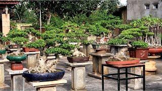 Thăm vườn Bonsai Mini đẳng cấp ở Bắc Ninh