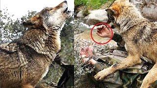 Ông lão cứu sống sói mẹ, không ngờ bầy sói kéo đến làng trả ơn thế này