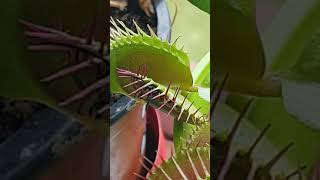 Wasp caught in Venus fly trap