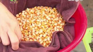 Công nghệ chăn nuôi Mới - Sử dụng ngô mầm cho gà ăn của DABACO