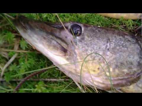Псковская область рыбалка. Улов щуки на лесном озере.