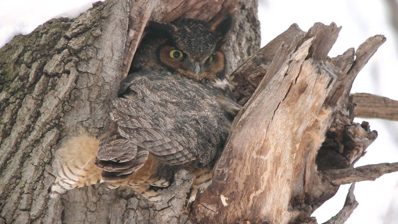 hd great horned owl - photo #31