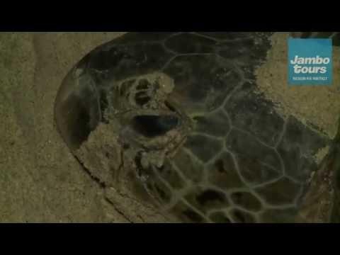 Havssköldpaddor - Jambo Tours